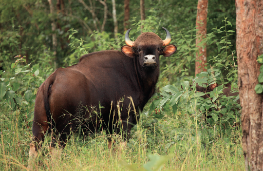 Indian Bison in Telangana