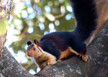 Indian Gaint squirrel in telangana